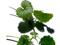 Centella asiatica ingredient