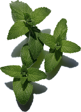 Wild mint