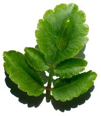Organic Leaf of life visual