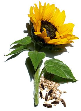 Sunflower visual